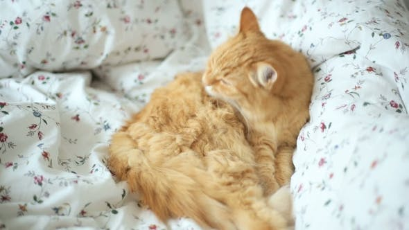 Thumbnail for Cute Ginger Cat Lying In Bed. Fluffy Pet Licks Itself
