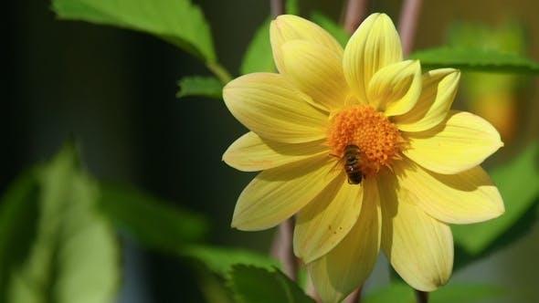Thumbnail for Fly On Dahlia Flower