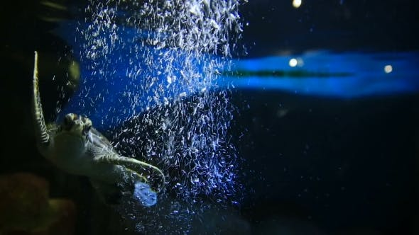 Thumbnail for Green Turtle (Chelonia Mydas) Floats Among Air Bubbles From The Oxygen Generator. The Tortoise Live