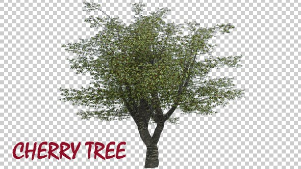 Thumbnail for Cherry Tree