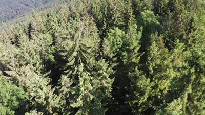 Pine Trees Forest Intro