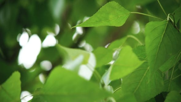 Thumbnail for Leaves Backlit. Summer Poplar Tree