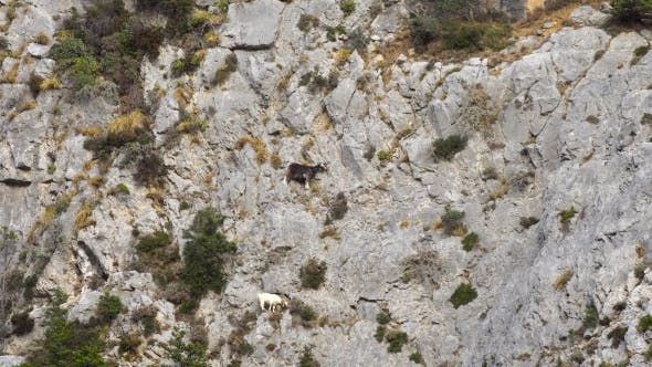 Thumbnail for Mountains Goats Climbing On Cliffs