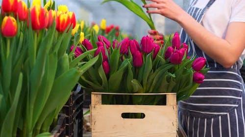 Woman Farmer Stacks Blooming Tulips