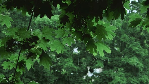 Thumbnail for Green Tree Branches Under The Falling Rain