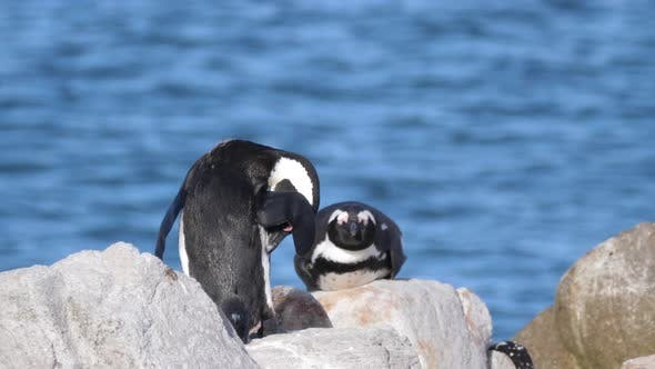 Penguins preening his feathers and the other sleeps on the rocks