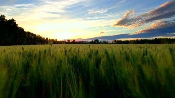 Thumbnail for Ultra Close Aerial Flyover Of Wheat Field At Sunset