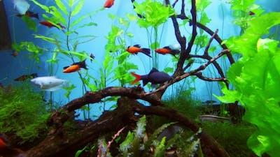 Beautiful Fish In Freshwater Aquarium