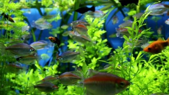 Thumbnail for Beautiful Fish In Freshwater Aquarium