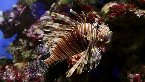 Thumbnail for Fish Floats In An Aquarium Lionfish
