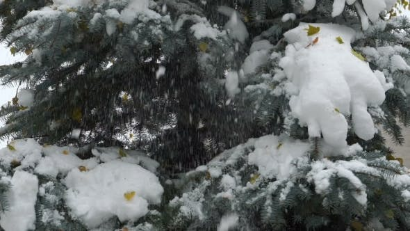 Thumbnail for Footage Snow Falls From Fir.  120 Fps