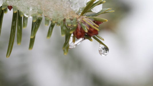 Thumbnail for Drops On Pine Needles