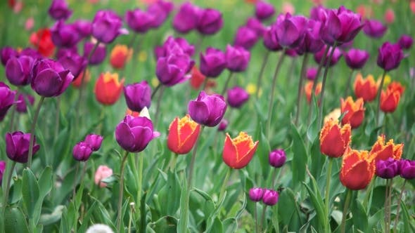 Thumbnail for Colorful Tulips In The Park