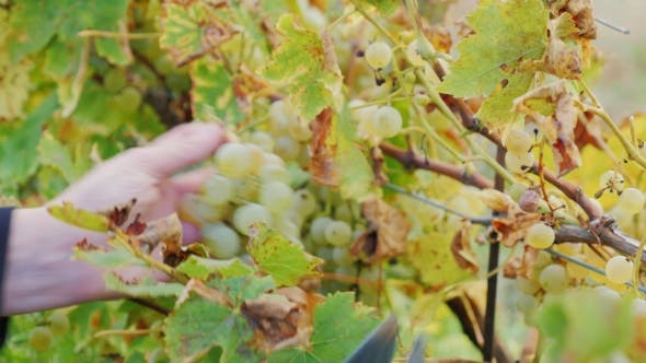 Thumbnail for Bunch Of White Grapes Cut With Scissors. Work In The Vineyard