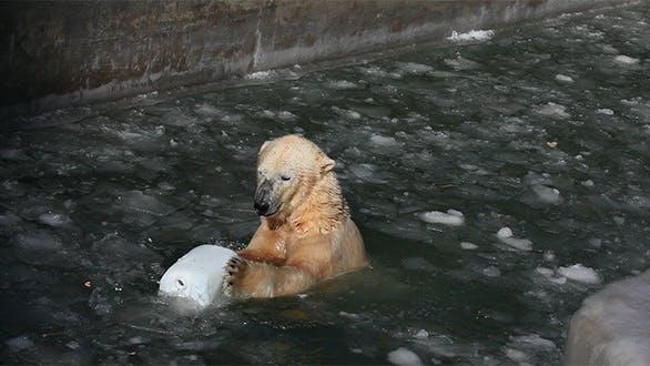 Cover Image for Polar Bear