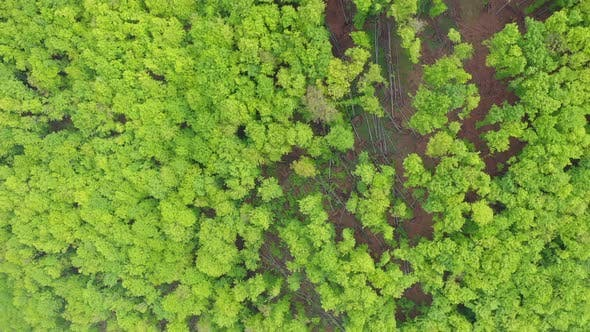 Flying Above a Green Beech Tree Forest