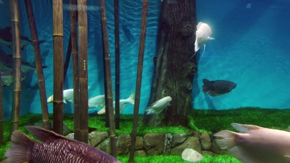 Thumbnail for Fish Colony Swimming Underwater In An Aquarium