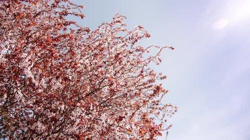 Kirschblüte, die Wind Nahaufnahme Hintergrund