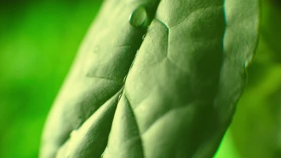 Thumbnail for Beautiful Green Leaf After the Rain. Close-up. Super Slow-Mo: Raindrops Falling On A Green Leaf