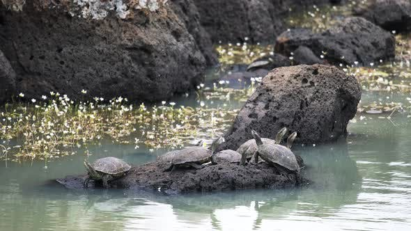 Thumbnail for Aquatic Turtle