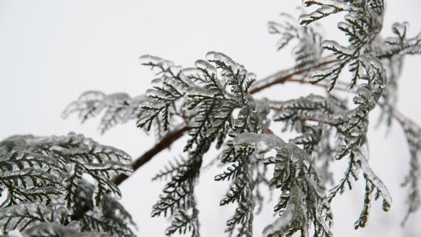 Thumbnail for Fir Needles Is Icy After Rain In Winter