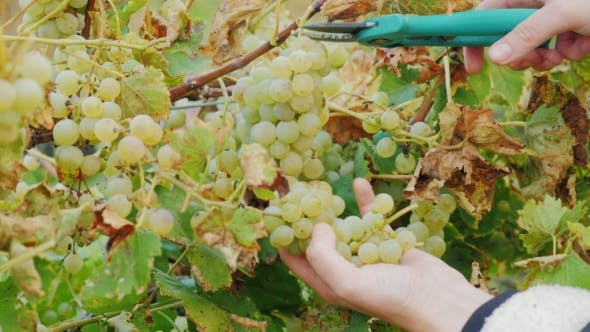 Thumbnail for Work In The Vineyard. Hands With Scissors, Carefully Cut The Bunches Of Grapes