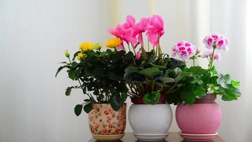 Cyclamen, Rose and Geranium in White Interior