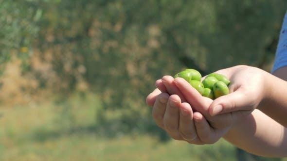 Thumbnail for Grüner Olivenanbau