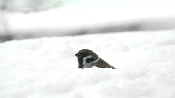 Sparrows Eating Seeds In Snowy Winter