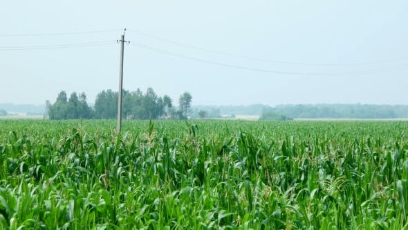 Thumbnail for Cornfield. Large Field of Young Corn. Countryside Landscape. Rural Agriculture Background. Russia.
