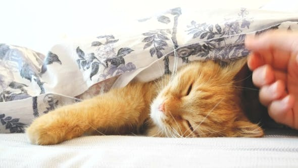 Thumbnail for Cute Ginger Cat Lying in Bed Under a Blanket