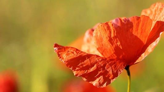 Thumbnail for Spring Poppy Flowers