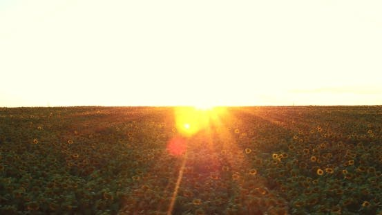 Thumbnail for Beautiful Sunflower Field