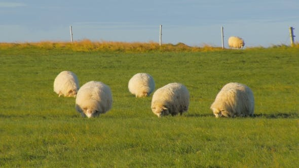 Thumbnail for Round White Sheeps Are Feeding on Bright Green Field in Fall in Iceland, Evening Sun Is Shining