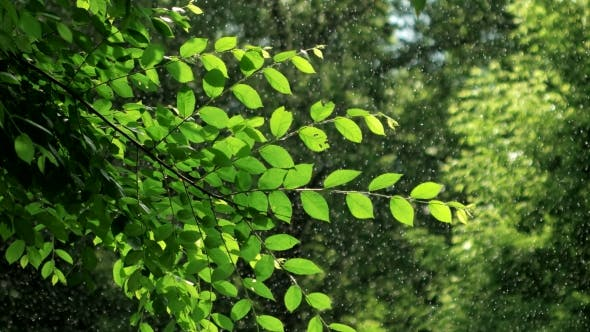 Thumbnail for Green Spring Tree in Rainy Weather