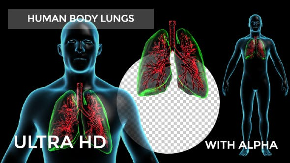 Thumbnail for Human Body with Lungs