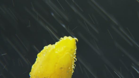 Thumbnail for Yellow Tulip in the Rain Rotating