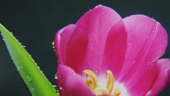 Thumbnail for Wet Purple Tulip Rotating
