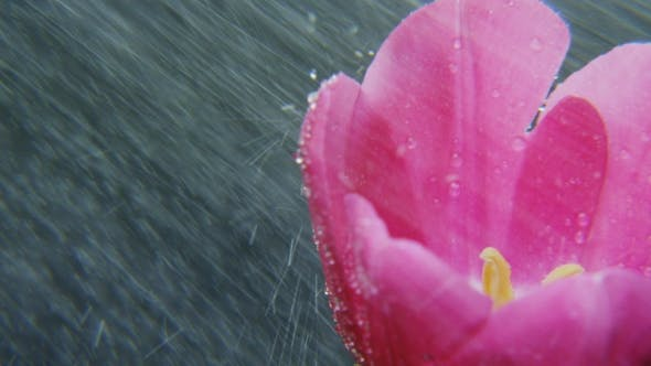 Thumbnail for Purple Tulip in Heavy Rain Rotating
