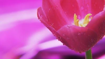 Purple Tulip Rotating on a Deep Purple Background