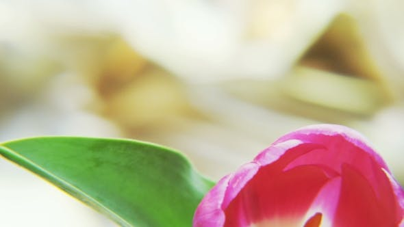 Thumbnail for Purple Tulip Rotating on a Golden Background