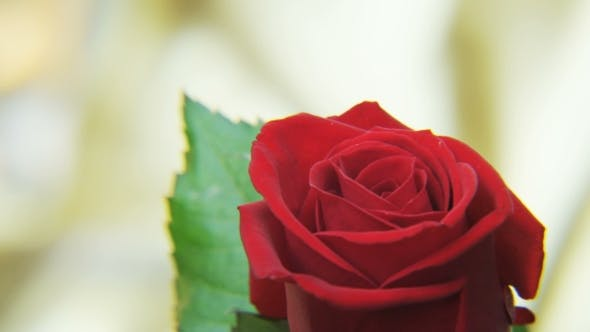 Thumbnail for Red Rose Rotating on a Golden Background