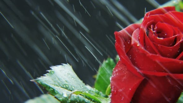 Thumbnail for Red Rose Rotating in Heavy Rain