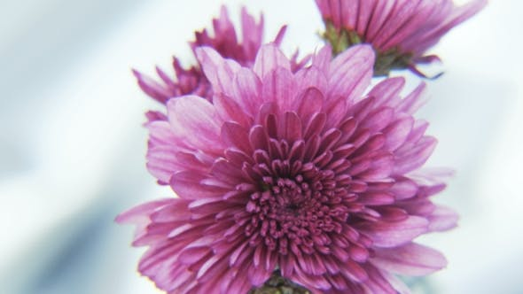 Thumbnail for Purple Flowers Rotating on Silvery Background