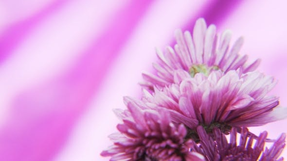 Thumbnail for Purple Flowers Rotating on a Deep Purple Background