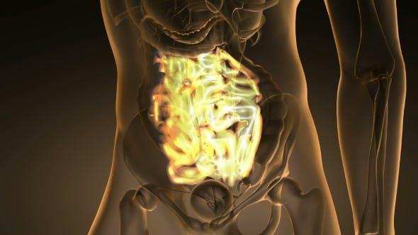 Thumbnail for Anatomie Scan des menschlichen Dünndarms