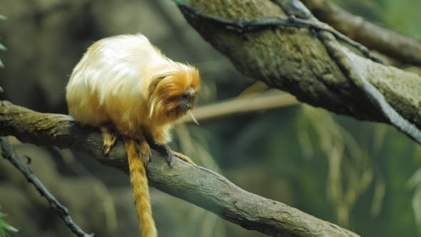 Thumbnail for Golden Lion Tamarin. He Is Sitting on a Tree Branch. Leontopithecus Rosalia