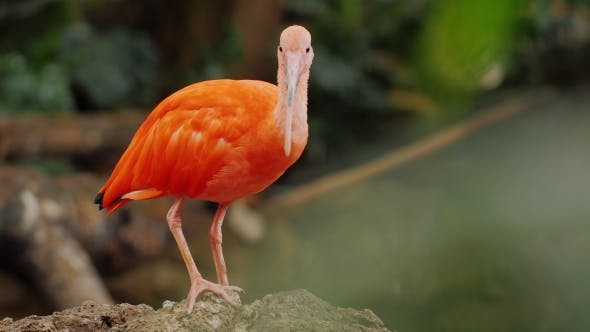 Beautiful Exotic Bird Red, Scarlet Ibis