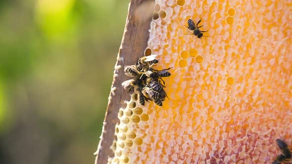 Thumbnail for Bees Fill Honeycomb with Honeycomb