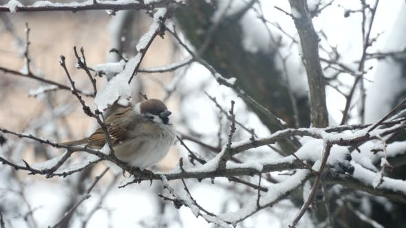Sparrow Bird On A Branch In The Winter